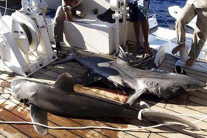 Dos tiburones que pudieron atacar a los cuatro turistas en la costa egipcia del mar Rojo en el complejo turístico de Sharm El-Sheij.