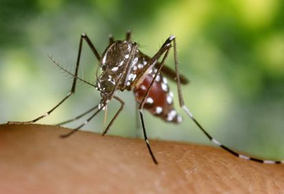 El mosquito tigre, transmisor la fiebre de chikungunya.