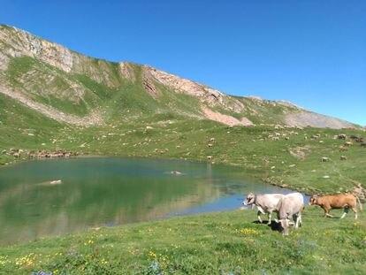 Vacas pastando en el valle de Castanesa. / PLATAFORMA EN DEFENSA DE LOS MONTES DE ARAGÓN