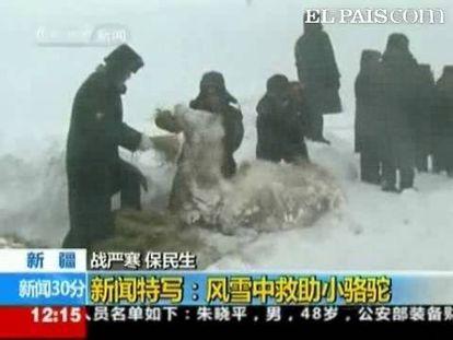 La nieve y el frío están causando graves problemas en algunas zonas de China. Es el caso de las regiones Autónomas Uygur de Xinjiang, en el noroeste del país, y la de Mongolia Interior, en el norte del país, que están padeciendo las peores tormentas de nieve de la década. El tráfico está interrumpido en esas áreas y la ganadería y la agricultura ha resultado gravemente dañada. Pero entre las imágenes del temporal, está la del rescate de una cría de camello. Una tormenta de nieve dejó prácticamente sepultado al animal e hicieron falta varias personas para rescatarlo. Posteriormente se llevaron a la cría a la casa de un agricultor de la zona para curarlo. El equipo de rescate encontró el camello atrapado entre la nieve cuando evacuaban una manada de caballos por una tormenta de nieve.