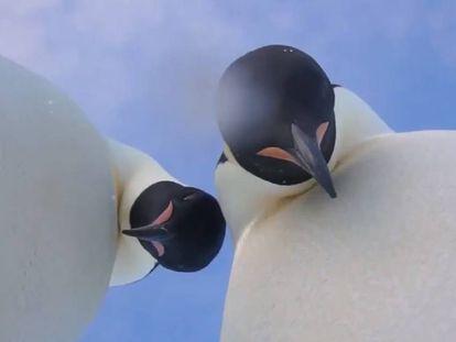 Instantánea del vídeo-selfie de los dos pingüinos emperador.