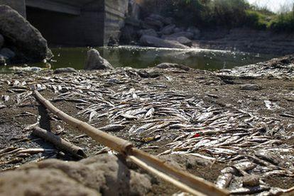 Peces muertos por falta de agua en el cauce del río Albaida en el término de Villanueva de Castellón, ayer por la tarde.