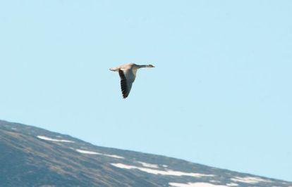 Un ganso indio en vuelo