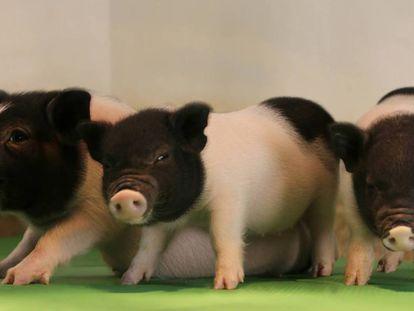 Cerdos cuyo genoma fue editado para desactivar los retrovirus.