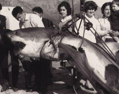 Un tiburón blanco capturado en Pollença en los años 60.