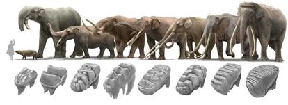 Una muestra de la enorme diversidad de formas que alcanzaron los proboscídeos, incluidos sus diferentes tipos de dentición. De izquierda a derecha las especies se ordenan desde la más antigua a la más reciente.