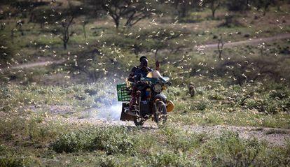 La plaga de langostas, a su paso por el noroeste de Kenia.