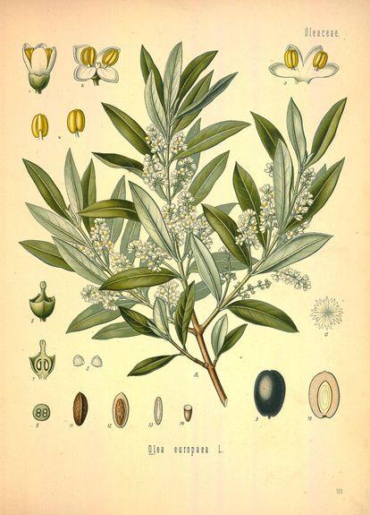 'Olea europaea var. sylvestris'