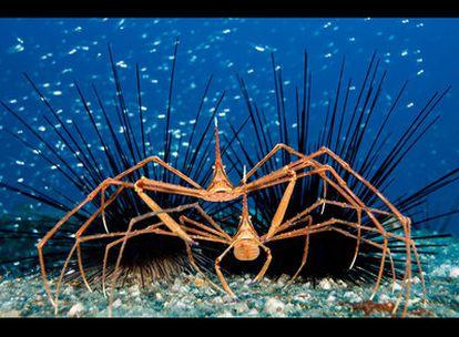 """La instántanea subacuática de este fotógrafo español, tomada en el Puerto de Mogán, en Gran Canaria, obtuvo en el certamen una Mención Especial. De ella dijo el autor: """"Pensé que la maraña de picos y patas largas hacían una maravillosa imagen gráfica junto con el fondo azul cobalto y el banco de peces plateados, como un cielo con estrellas. Los apéndices del animal dan oxígeno a los huevos, para que no mueran""""."""