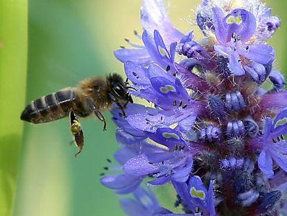 Una abeja en una flor de pontederia.