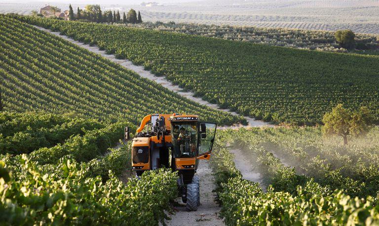 Una máquina cosechadora recolecta uvas al amanecer en un viñedo de Montilla, en Córdoba.
