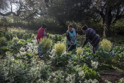Mujeres de Nueva Yuchan trabajan en su huerta agroecológica.