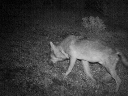 Lobo posiblemente de origen italiano captado en octubre en la comarca aragonesa de Ribagorza por una cámara de fototrampeo.
