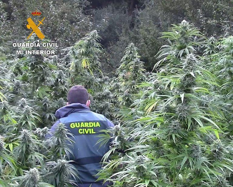 Plantación de marihuana descubierta, el pasado septiembre, en una zona boscosa cercana a los Montes de Oca, en la provincia de Burgos.