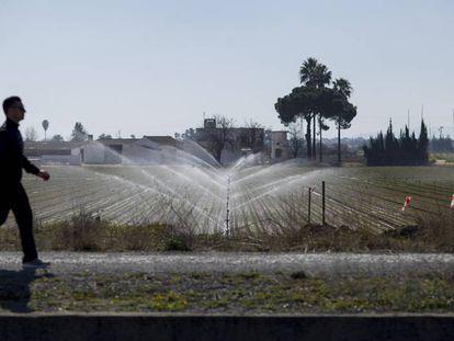 Cultivo de regadío en la localidad sevillana de Los Palacios.