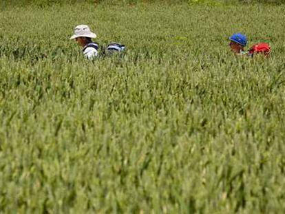 Dos excursionistas sortean un campo de cereal en Redecilla del Camino, en Burgos.