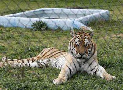 Un tigre del Safari de Aldea del Fresno (Madrid), denunciado por Infozoos por su mal estado.