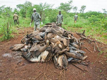 Vigilantes amontonan los cadáveres de buitres de un envenenamiento masivo en Mozambique.