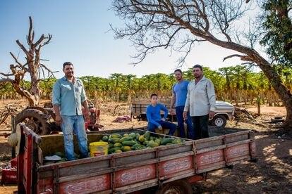 De izquierda a derecha, João, Davi, Marcelo y José durante la cosecha de papaya en el terreno que alquilan los hermanos.