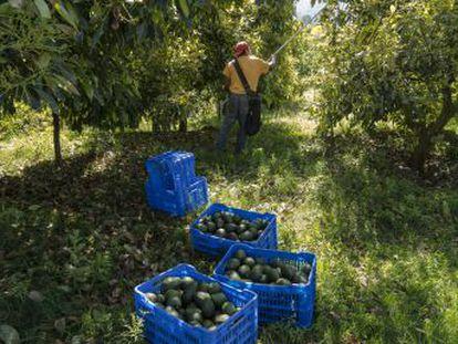 Michoacán es el primer productor del mundo de esta fruta, cuyo  boom  comercial también ha traído al Estado mexicano violencia, deforestación y precariedad laboral